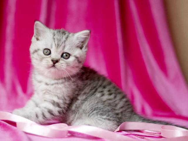 Шотландские котята из проф питомника