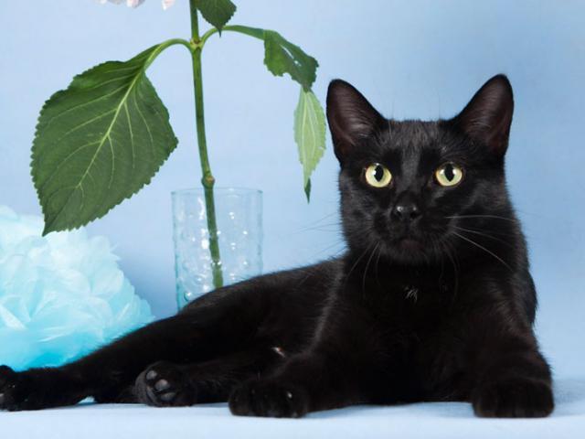Роскошная черная кошечка Матильда ищет дом!