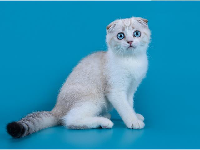 Кошка. Шотландская вислоухая (короткошерстная). Продаю в Ростове-на-Дону
