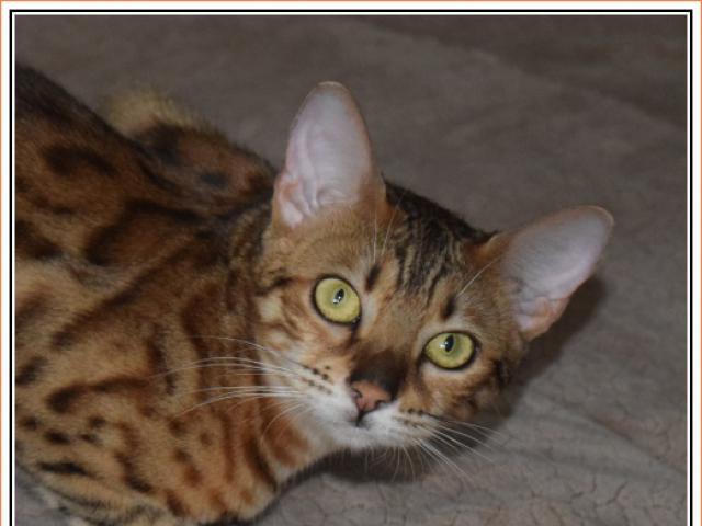 Кошка. Бенгальская короткошерстная. Продаю в Москве