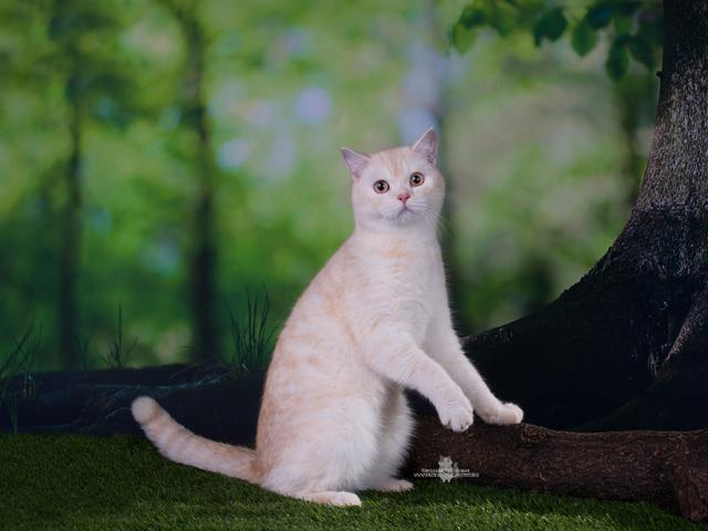 Кошка. Шотландская вислоухая (короткошерстная). Отдам в дар в Санкт-Петербурге
