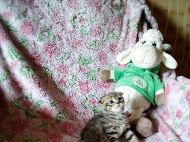 Кошка. Шотландская вислоухая (короткошерстная). Продаю в Павловском Посаде