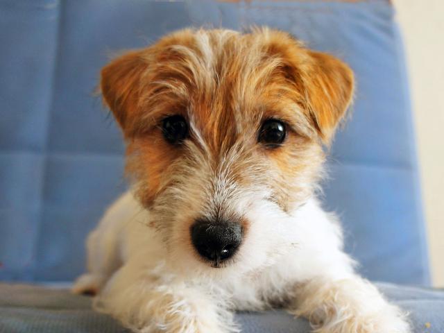 Собака. Джек Рассел терьер. Продаю в Минске