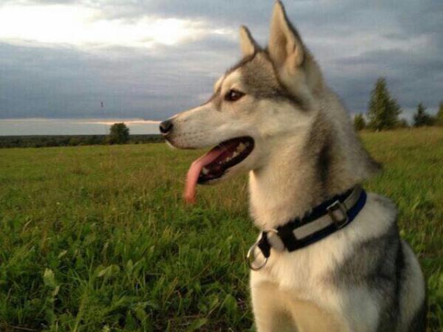 Собака. Сибирский хаски . Потеря/Находка в Черноголовке
