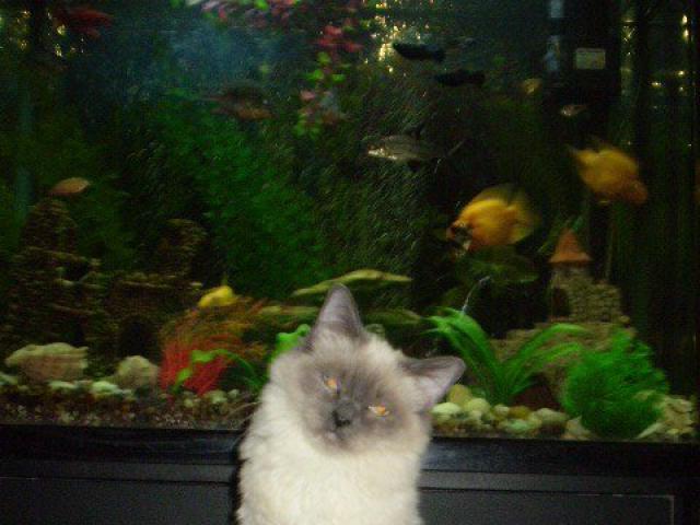 Кошка. Бирманская. Продаю в Москве