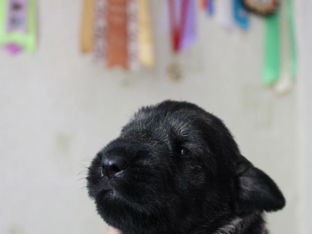 Собака. Шнауцер. Продаю в Воронеже
