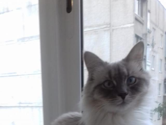 Кошка. Невская маскарадная. Потеря/Находка в Раменском