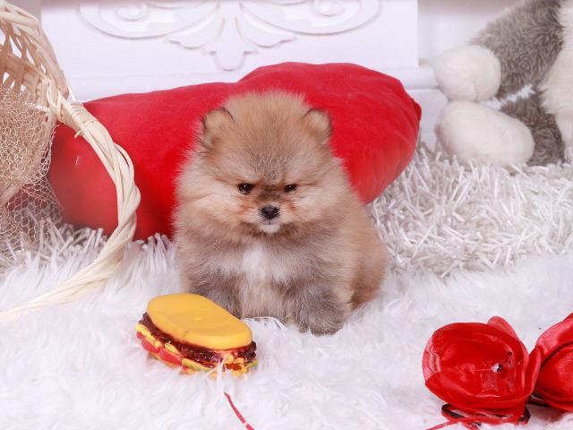 Собака. Немецкий шпиц карликовый (померанский). Продаю в Новосибирске