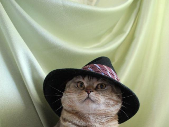 Кошка. Шотландская вислоухая (короткошерстная). Вязка в Москве