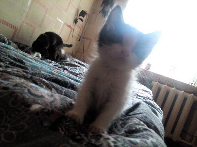 Кошка.  Беспородные и метисы . Отдам в дар в Перми