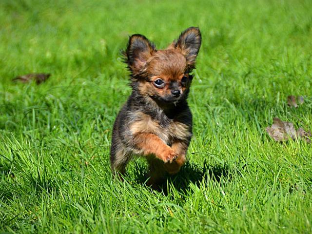 Собака. Чихуахуа . Продаю в Санкт-Петербурге