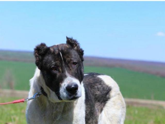 Собака. Среднеазиатская овчарка (Алабай). Отдам в дар в Ессентуках