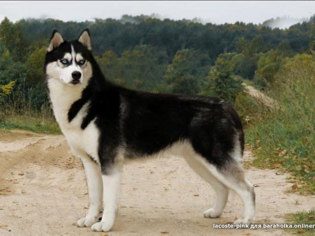 Собака. Сибирский хаски . Продаю в Минске