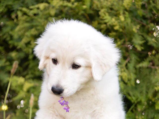 Собака. Маремма-абруцкая овчарка. Продаю в Краснодаре