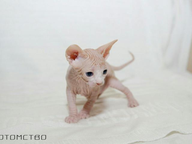 Кошка. Канадский сфинкс. Вязка в Иркутске