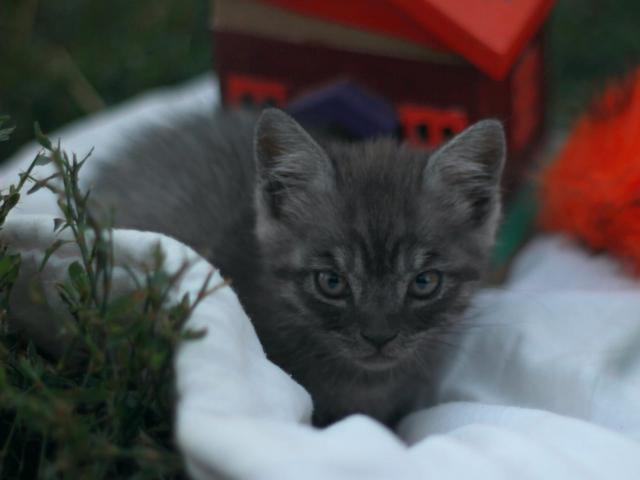 Кошка. Британская короткошерстная. Отдам в дар в Краснодаре