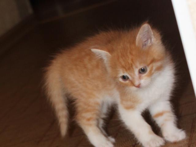 Кошка.  Беспородные и метисы . Отдам в дар в Ставрополе