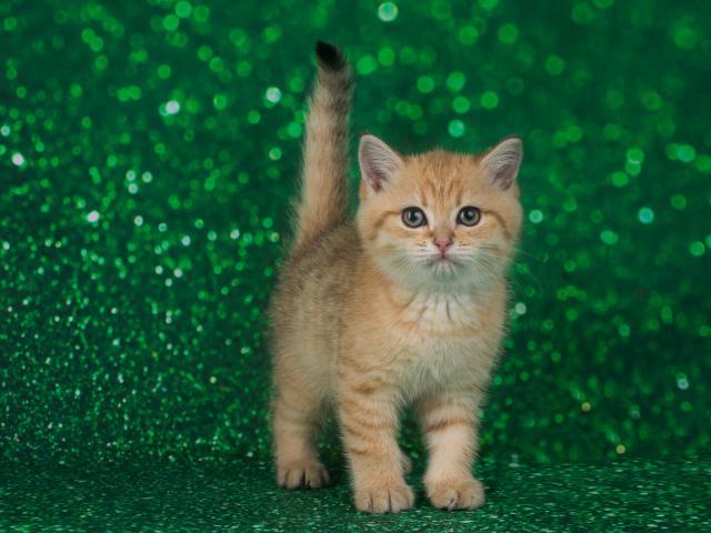 Кошка. Британская короткошерстная. Продаю в Санкт-Петербурге