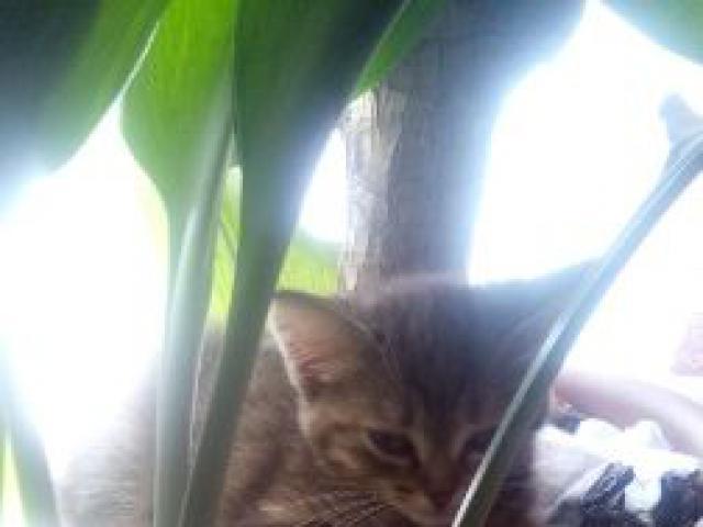 Кошка.  Беспородные и метисы . Продаю в Екатеринбурге
