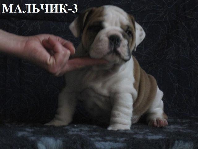 Собака. Английский бульдог. Продаю в Москве