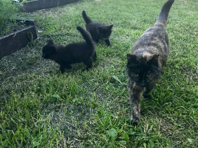 Кошка.  Беспородные и метисы . Отдам в дар в Тюмени