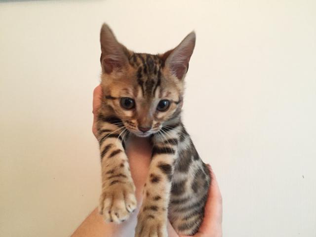 Кошка. Бенгальская короткошерстная. Продаю в Минске