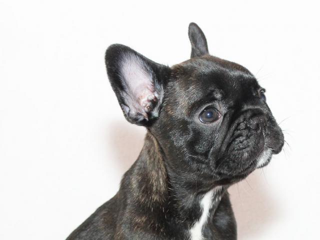 Собака. Французский бульдог . Продаю в Санкт-Петербурге