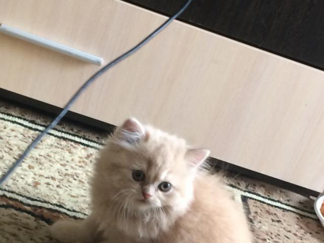 Кошка. Персидская. Продаю в Иркутске