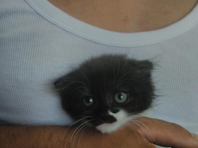 Кошка. Шотландская вислоухая (короткошерстная). Продаю в Тюмени