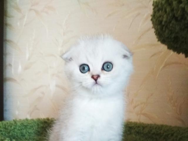 Кошка. Шотландская вислоухая (короткошерстная). Продаю в Санкт-Петербурге