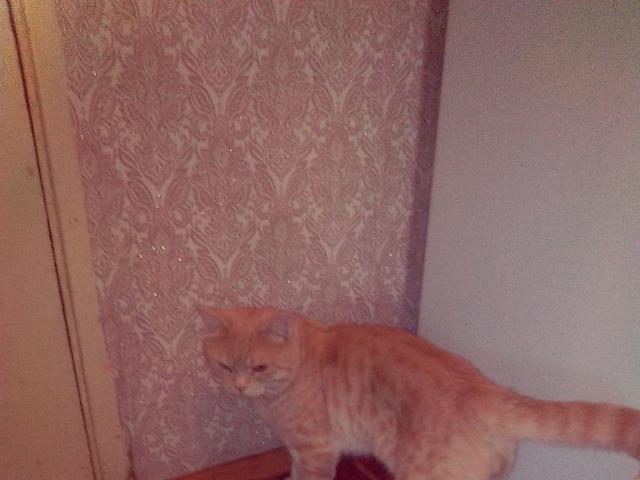 Кошка. Шотландская вислоухая (длинношерстная). Отдам в дар в Самаре
