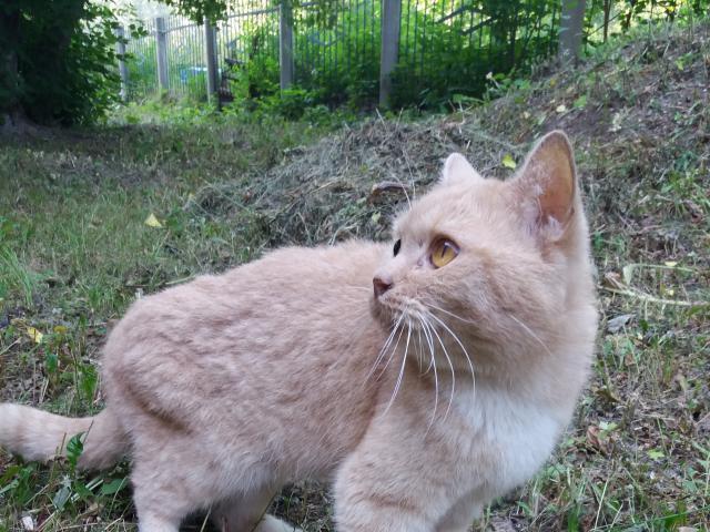 Кошка. Британская короткошерстная. Отдам в дар в Красноярске