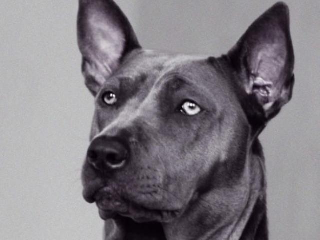 Собака. Тайский риджбек . Потеря/Находка в Воскресенске