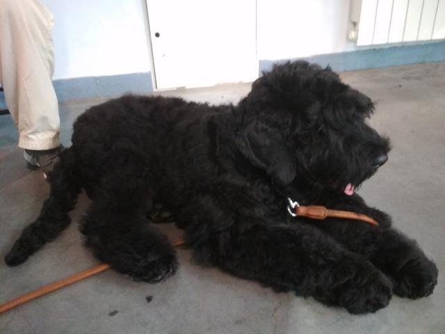 Собака. Русский черный терьер. Продаю в Санкт-Петербурге