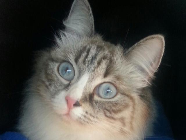 Кошка.  Беспородные и метисы . Вязка в Красноярске