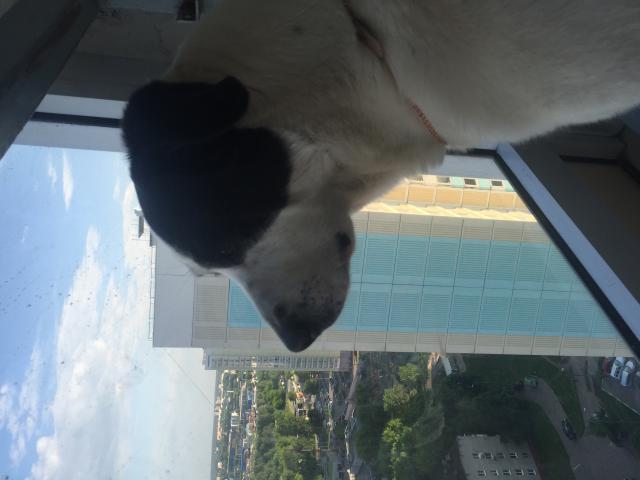 Собака. Кавказский волкодав. Вязка в Москве