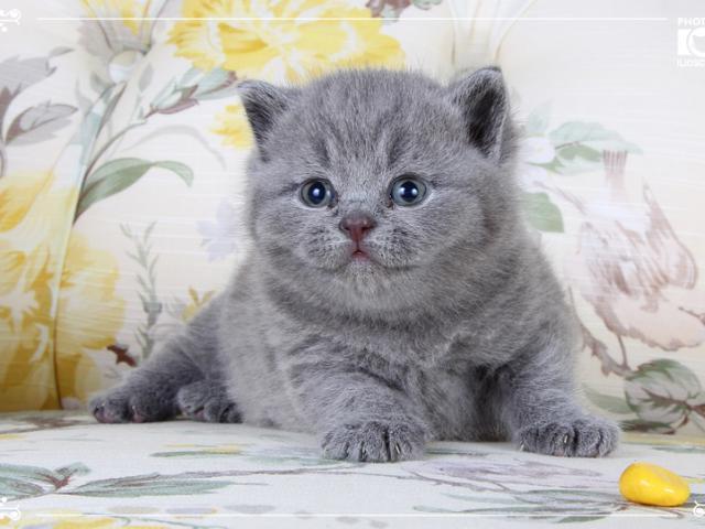Шикарные британские котята из Style of Provence