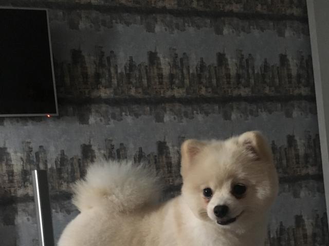 Собака. Немецкий шпиц малый. Вязка в Новосибирске