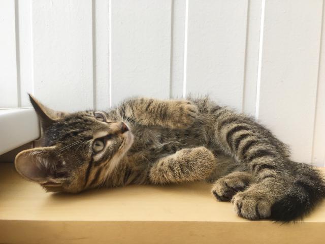 Кошка.  Беспородные и метисы . Отдам в дар в Томске