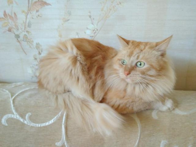 Кошка.  Беспородные и метисы . Вязка в Москве