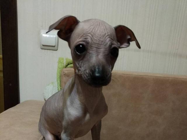 Собака. Мексиканская голая собака. Продаю в Москве