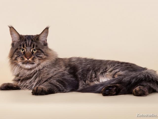 Кошка. Мэйн-кун . Продаю в Балаково