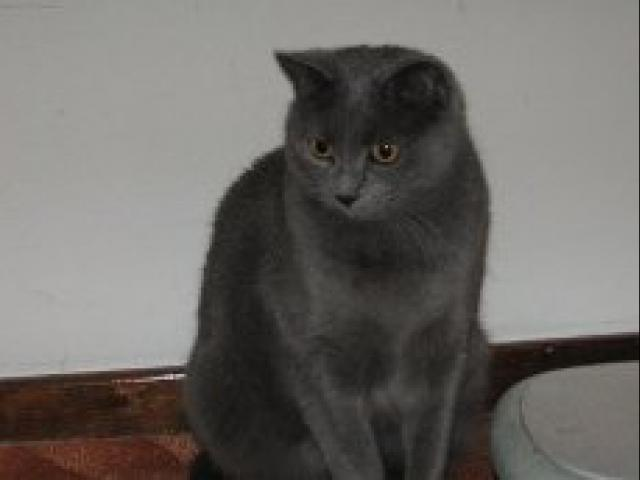 Кошка. Шартрез. Продаю в Красноярске