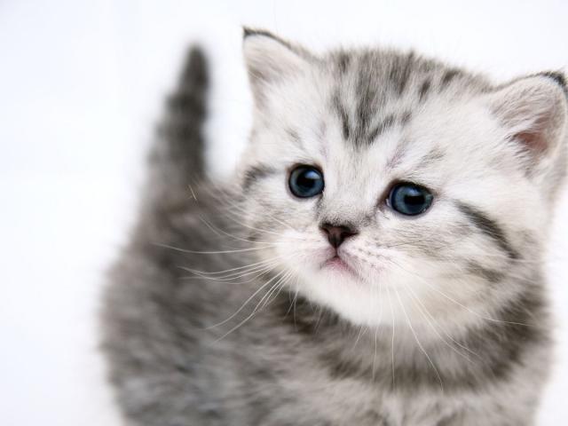 Кошка.  Беспородные и метисы . Отдам в дар в Оренбурге