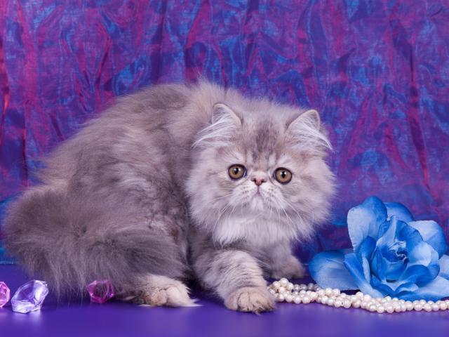 Кошка. Экзотическая (длинношерстная). Продаю в Саратове