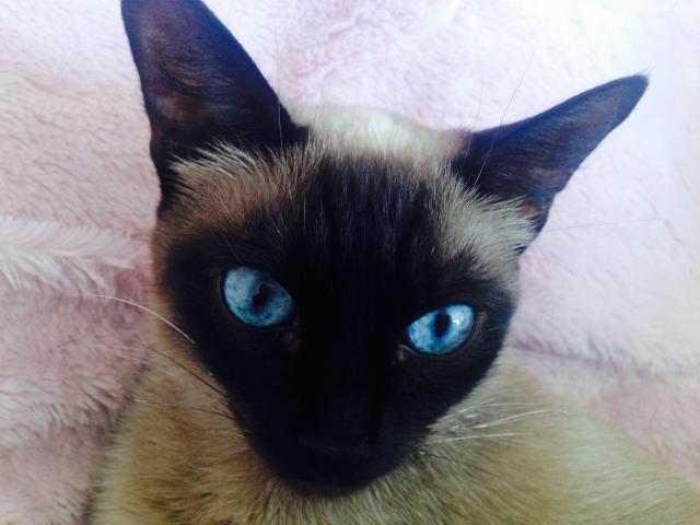 Кошка. Сиамская. Вязка в Москве