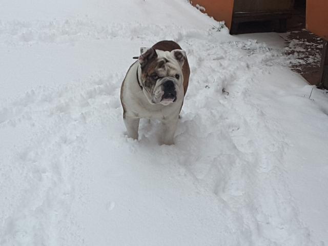 Собака. Английский бульдог. Потеря/Находка в Красноярске