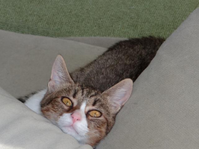 Кошка. Европейская короткошерстная. Отдам в дар в Санкт-Петербурге