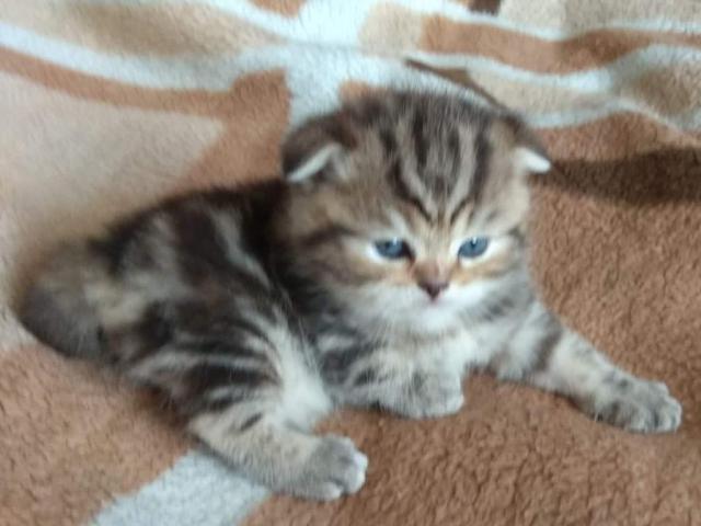 Кошка. Шотландская вислоухая (короткошерстная). Продаю в Москве