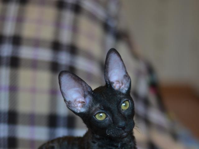 Кошка. Корниш-рекс. Продаю в Минске